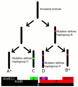 Molecular lineage haplogroups